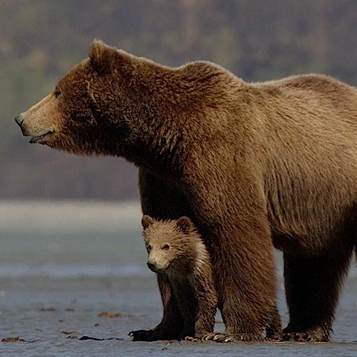 <i>Bears</i>