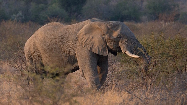 Elephants Contribute to Far-Reaching Seed Distribution