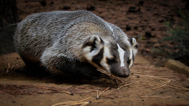Weird Science: Sexual Afterglow Lasts Over 48 Hours and A Badger Buries A Cow