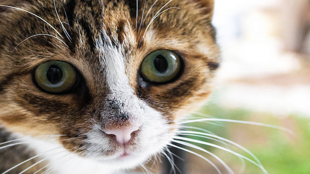 Heart Disease Treatment For Cats May Benefit Humans
