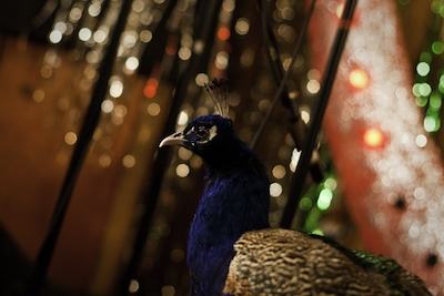 paul-donnan_jonsi-peacock.jpg