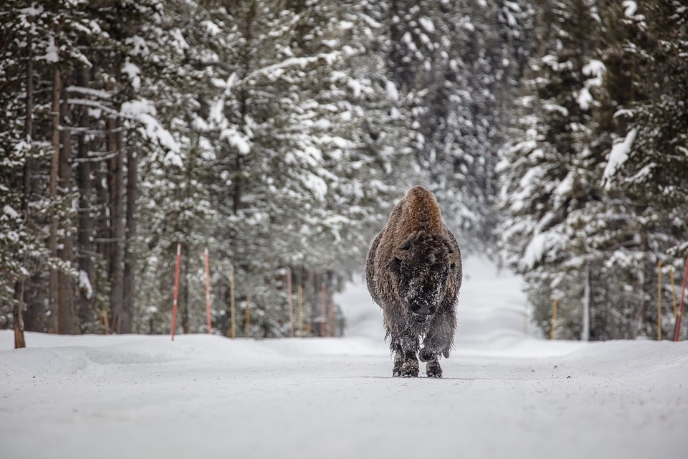 edmonton_bison.jpg