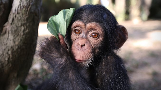 <i>Baby Chimp Rescue</i>: Adorable, Heartbreaking, Essential