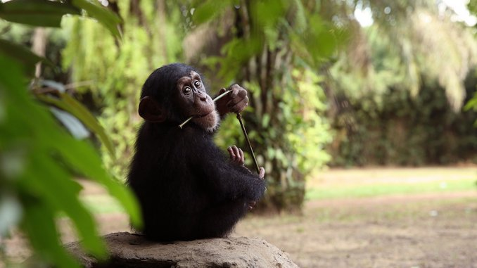 Watch: <i>Baby Chimp Rescue</i> Finale Introduces the Hilarious Jumping JoJo