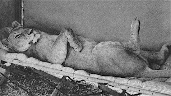 4-Born-Free-Elsa-the-Lioness-100-Best-Cats.jpg
