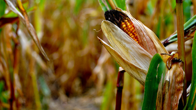 Genetic Change Could Save Tons of Corn
