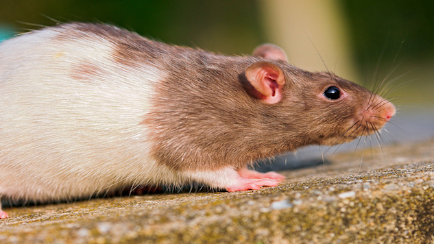 Genetically Engineered Animals Could Control For Diseases