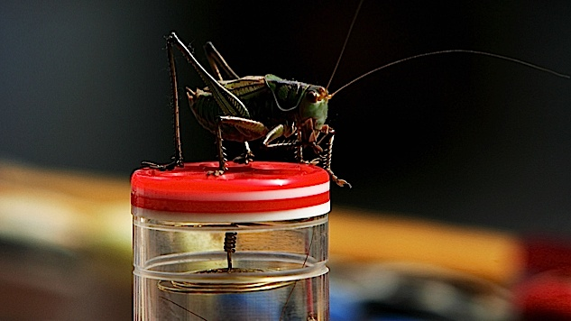 Crickets could be behind the Cuba 'sonic attack' mystery, scientists say