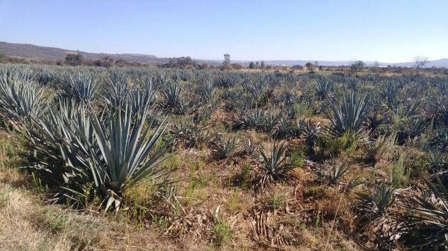 Ask the Expert: Is Mezcal Tequila? Is Tequila Mezcal?