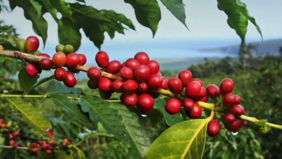 Discover Coffee Fruit, Nature's Wasted Superfood
