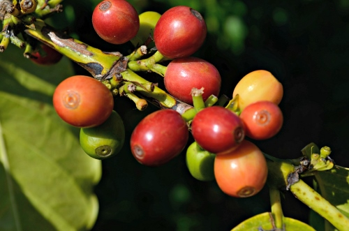 Discover Coffee Fruit Nature S Wasted Superfood Food