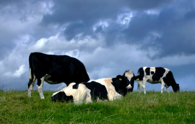 Warming Signs: Cow Burps and Climate Change
