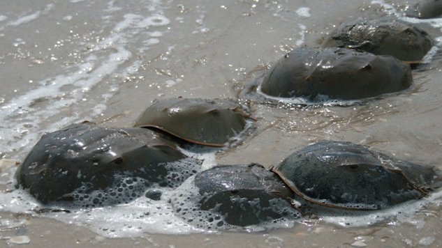 Horseshoe Crabs: Ancient Creatures Helping to Keep Us Safe