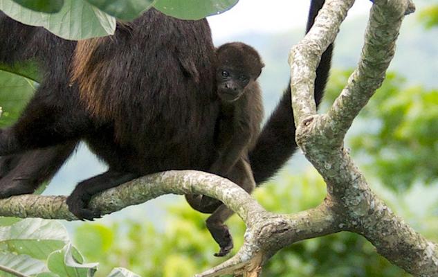 Monkeys Breakout Panama.jpg