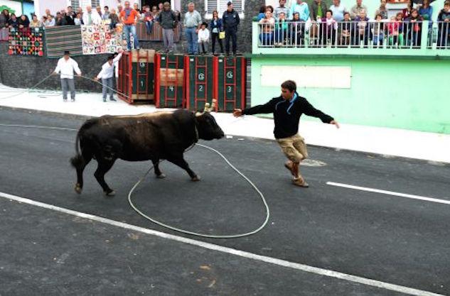 P Terceira bull.jpg