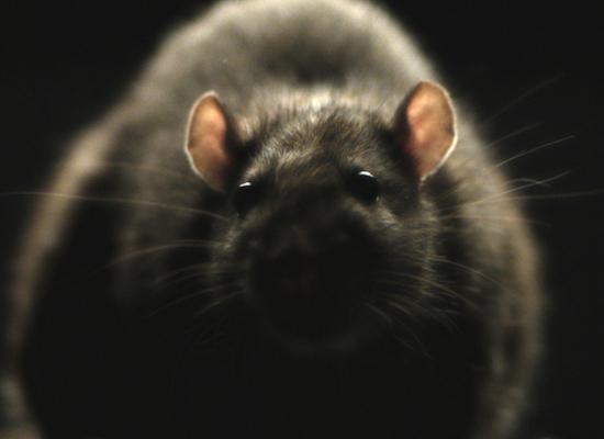 RATS_01.jpg