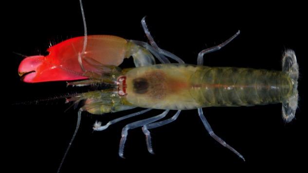 Pink Floyd Shrimp Kills Enemies With 210-Decibel Sound