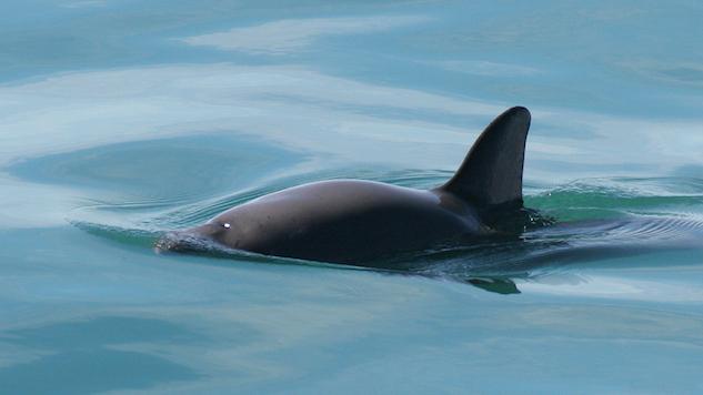 World's Smallest Porpoise Nears Extinction