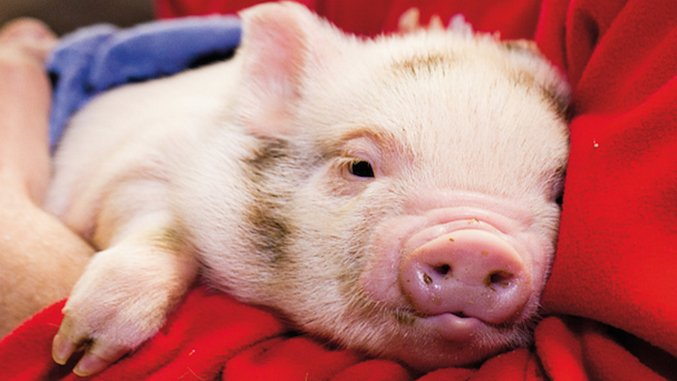 """Are """"Therapy Pigs"""" the Newest Airport Addition?"""