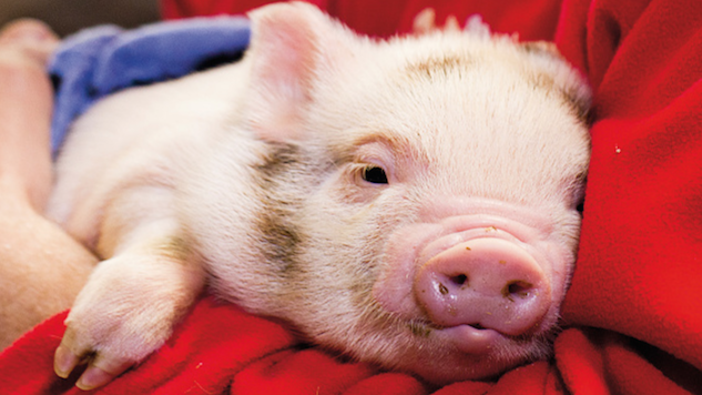 "Are ""Therapy Pigs"" the Newest Airport Addition?"