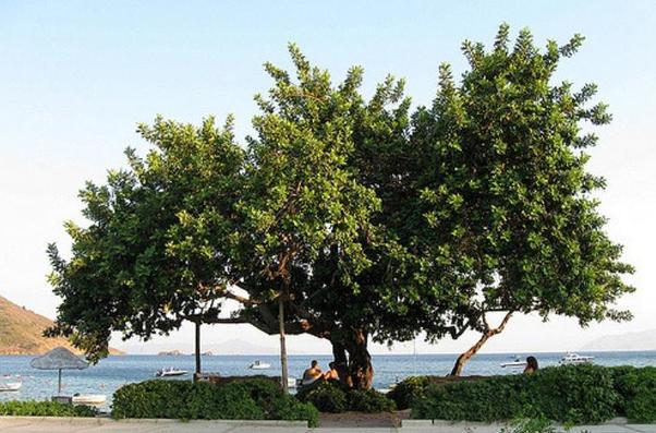 carobtree.jpg