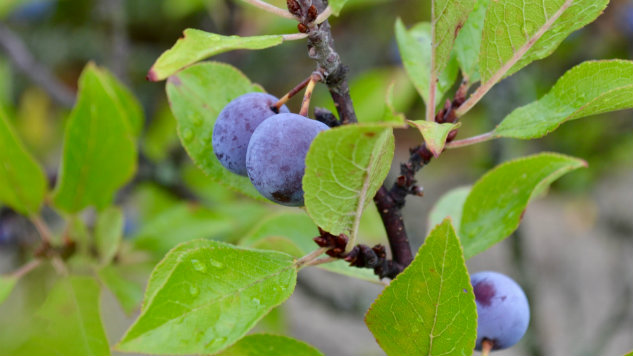 Beach Plums Are the Bittersweet Flavor of Summer's End