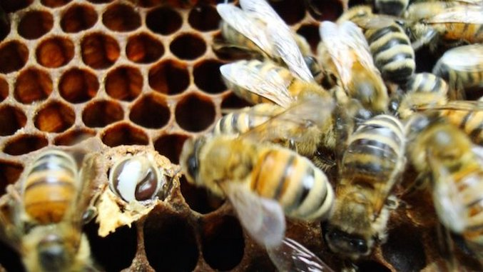 The Latest Craft Beer Comes From Bees' Yeast