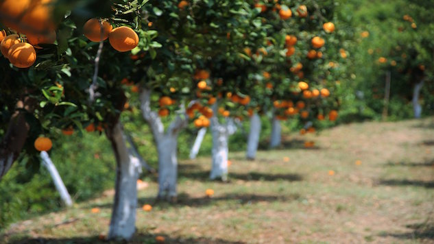 Citrus Farmers Search for Solution to Dying Fruit