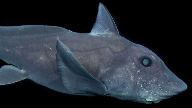 Ghost Shark Prompts Questions About Deep Sea Exploration