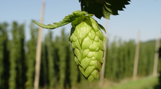 "AB-InBev Just ""Commandeered"" the Entire South African Hops Market"