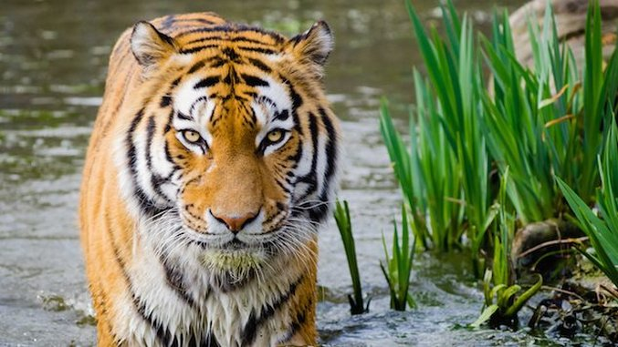 <i>EarthRx</i>: How Tigers Will Save Mother India's Soul