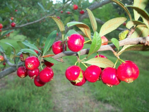 7 Wild and Wonderful Indigenous American Fruits :: Food :: Paste