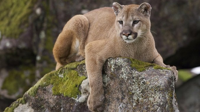 The Mountain Lion Who Conquered Hollywood