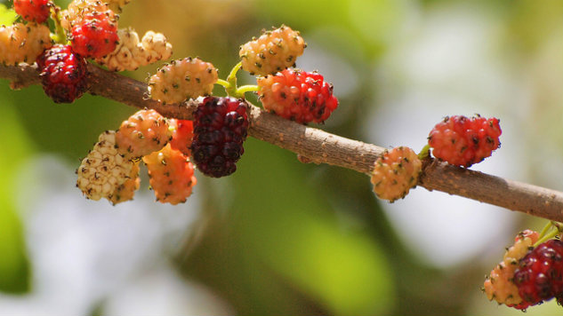 Remember the Summer Mulberry, Red or White