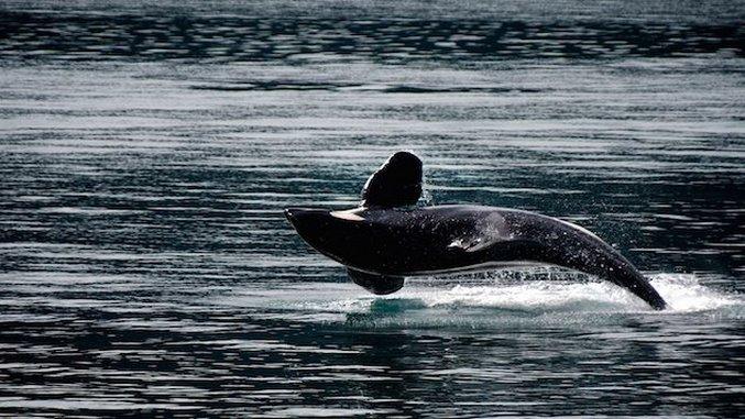 <i>EarthRX:</i>The Killer Whale in the Coal Mine