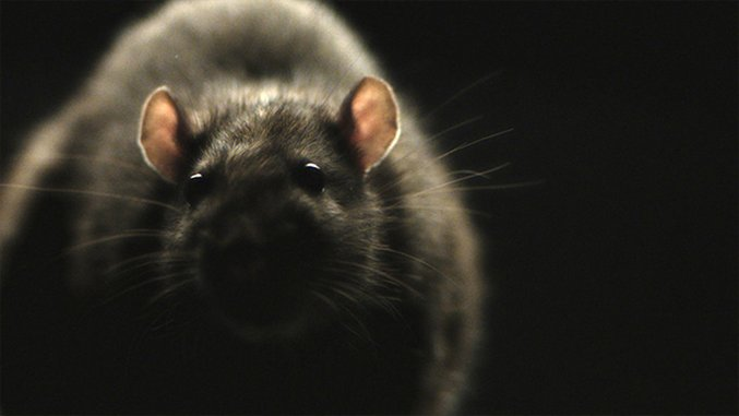 Their First Horror: Morgan Spurlock and Jeremy Chilnick's <i>RATS</i>