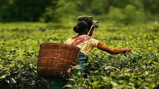 The Future of India's Tea Looks Good