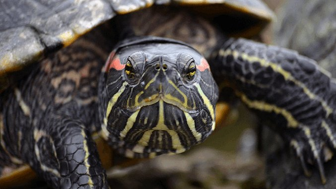 Weird Science: Scientists Are Growing Herpes-Ridden Turtle Skin