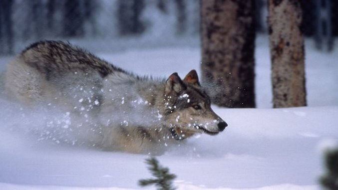 Wolves In Yellowstone Threatened By New Policy