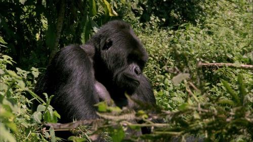 """<em>An Idiot Abroad</em>: """"Meet a Gorilla"""" (2.5)"""
