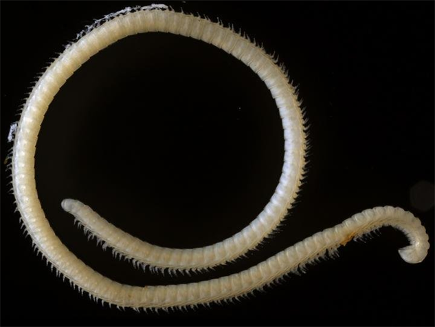 2016-coolest-animals millipede