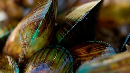 5-wd-new-zealand thumbnail-musselscourtesy-coromandel-mussel-kitchen