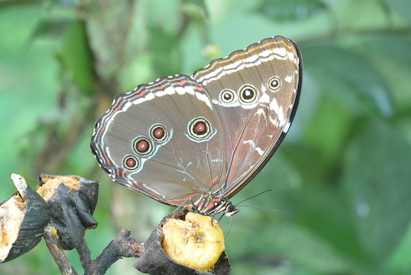 amazon-butterfly-farm owl-butterfly-2