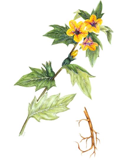 botanical-shakespeare 1bsinsaneroot