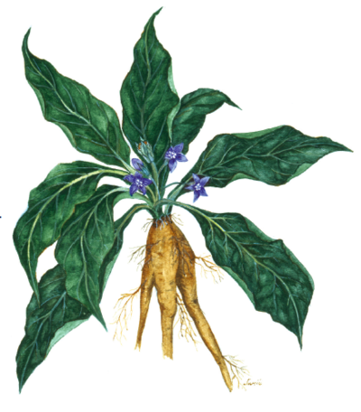 botanical-shakespeare 1bsmandrake