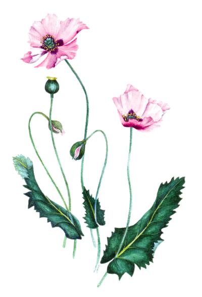 botanical-shakespeare 1bspoppy