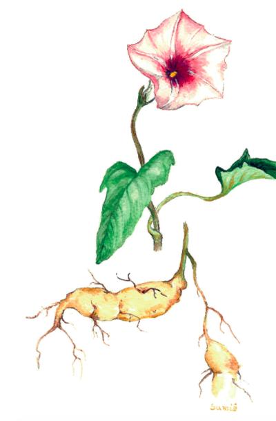 botanical-shakespeare 1bspotato