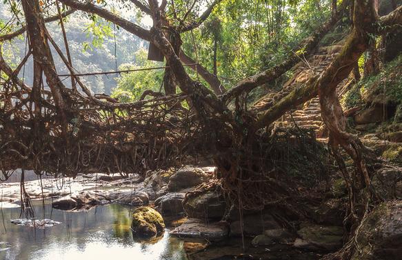 bridges living-roots-bridge-india