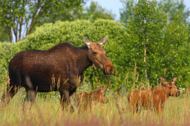 chernobyl-wildlife family-of-moose-valeriy-yurko