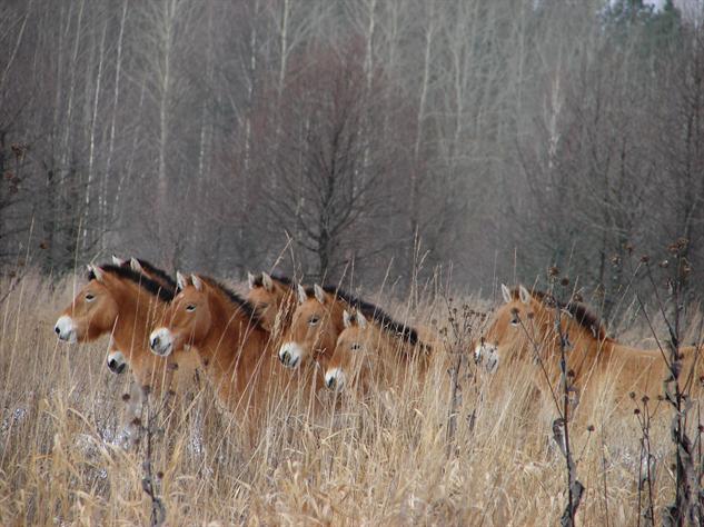 chernobyl-wildlife przewalski-horse-tatyana-deryabina
